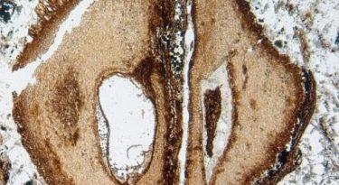 World's Oldest Mahogany Specimen